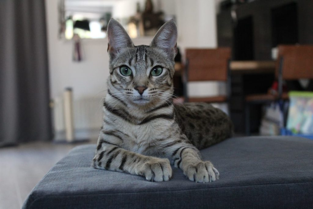 Savannah cattery