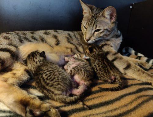 CatVision Caia of HorizonCats heeft kittens