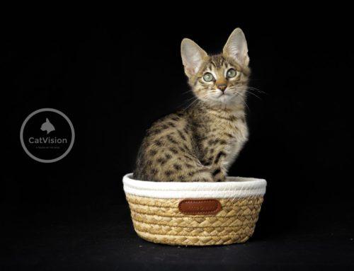 CatVision Khaleesi of HorizonCats komt bij ons in de cattery wonen