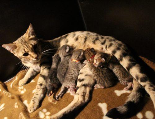 FelisSavannah Nala heeft kittens