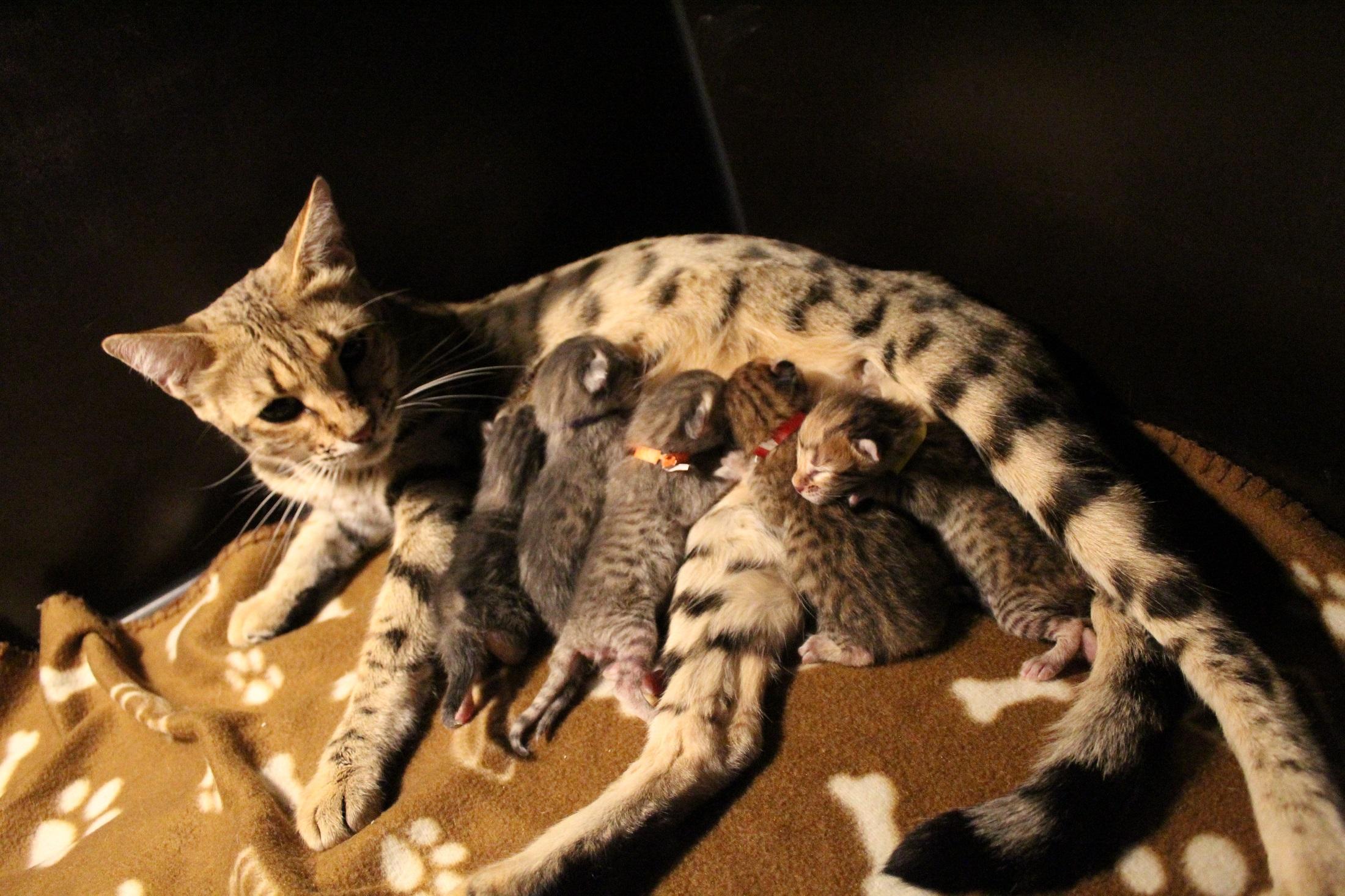 Savannah F7 kittens